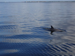 A dolphin swims in the waters of Charlotte Harbor