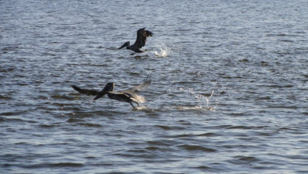 Brown Pelicans Fishing