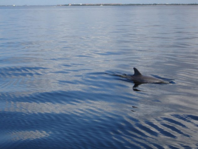 Dolphin in Charlotte Harbor