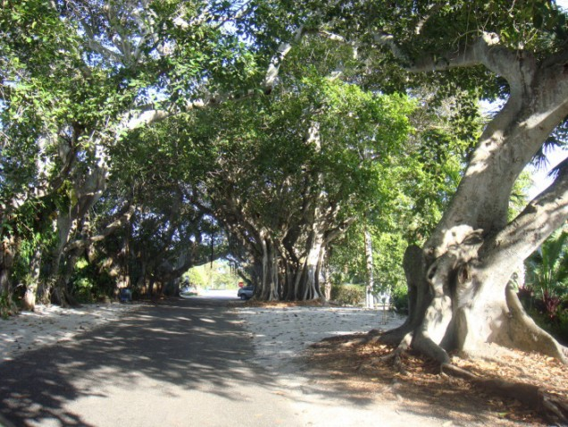 Banyan Trees on Boca Grande
