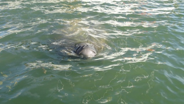 Manatee Swimming toward the boat