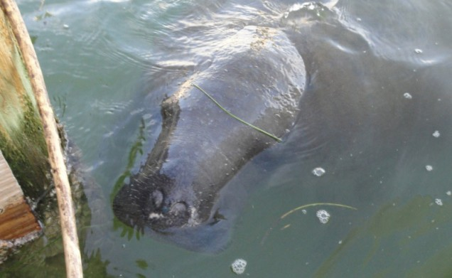 Another Manatee Checking Out the Dock