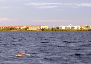 Bottle-Nosed Dolphin in Charlotte Harbor